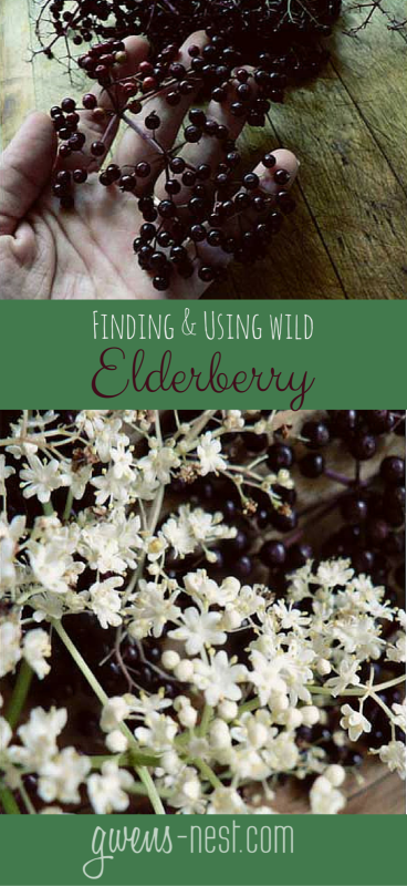 Identifying and using wild elderberry NO WAY! I've seen this stuff growing near my house! COOL!