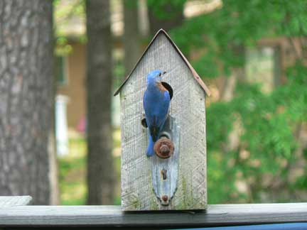 More Bluebird Pictures