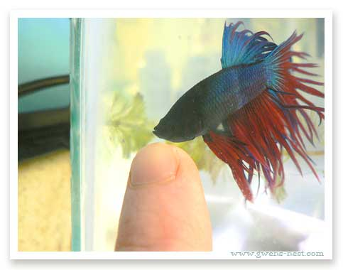Betta babies i gwen 39 s nest for Baby betta fish