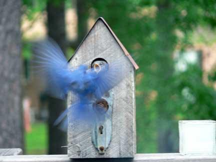 bluebird-baby-feeding