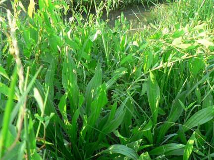 plantain-herb printable