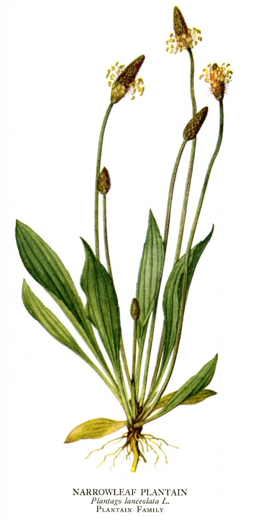 plantain-herb-narrowleaf