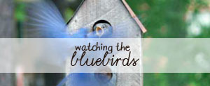 A little bluebird family album from our back porch nestbox.