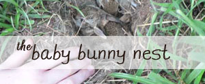 Look what we found! Pictures and great info on what to do if you find a baby bunny nest.