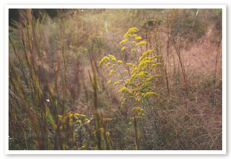 goldenrod herb (33 of 46)