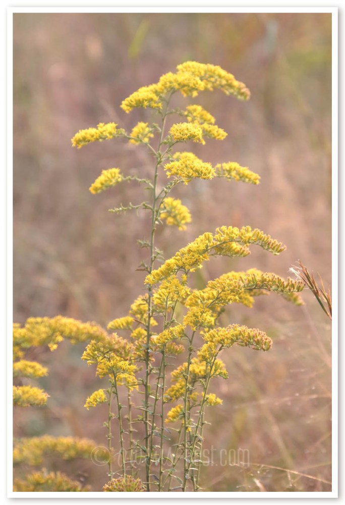 goldenrod herb (35 of 46)