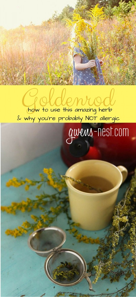 Goldenrod herb uses and recipes- learn how to use this gorgeous and useful herb!