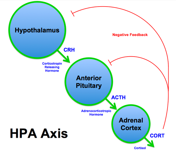 564px-HPA_Axis_Diagram_(Brian_M_Sweis_2012)