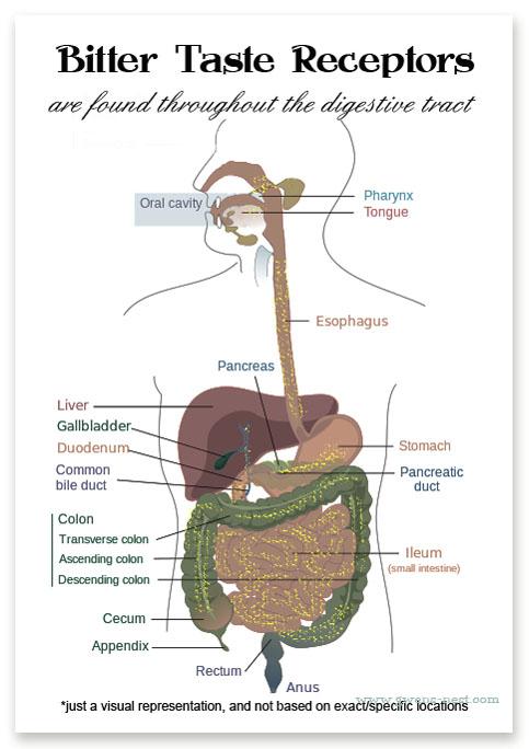 bitter taste receptor locations